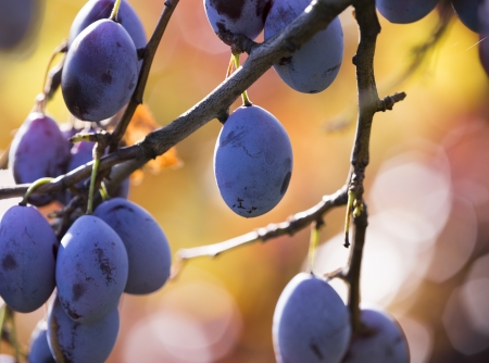 Ripe plums hanging from a tree during sunrise photo
