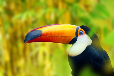 forest conservation: Colorful Toucan Bird  Profile photo  Stock Photo