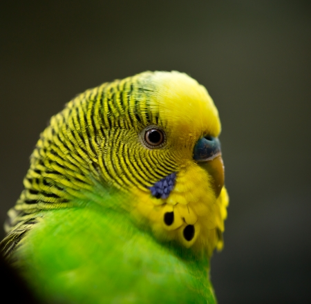 budgie: Cute Little Budgie Bird close-up  Stock Photo