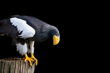 Steller s sea eagle  Haliaeetus pelagicus  photo