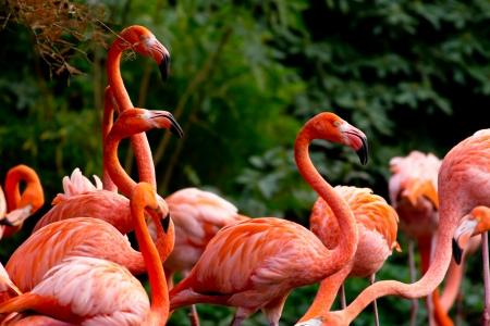 American or Caribbean Flamingo portrait photo