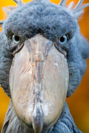 feathering: Shoebill, Abu Markub  Balaeniceps rex