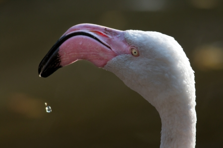 American or Caribbean Flamingo portrait photo