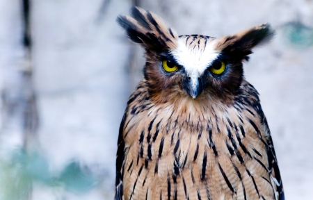 Great Horned Owl sits and stares into the camera   photo