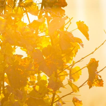 포도 수확: 아침 햇빛에 포도 나무 분기에 와인 포도
