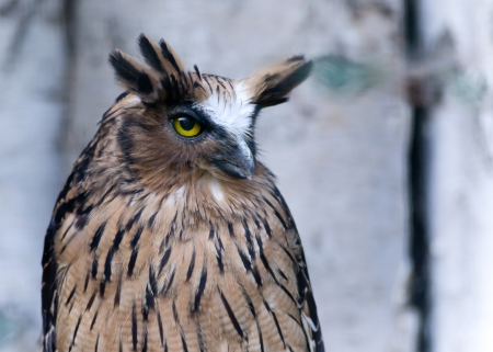 stares: Great Horned Owl sits and stares into the camera  Stock Photo