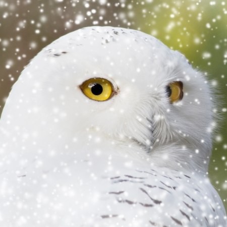 portrait of a beautiful snow owl photo