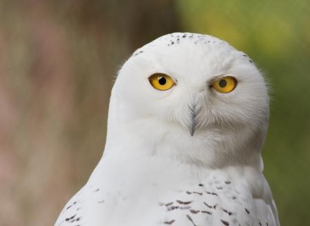 Snow owl photo