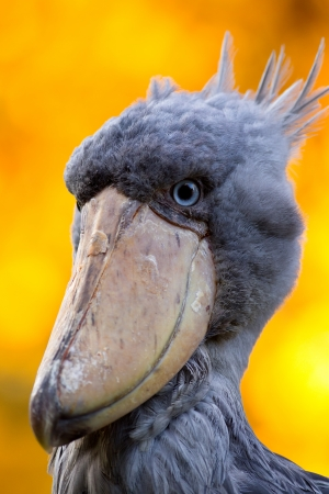 Shoebill, Abu Markub  Balaeniceps rex  photo
