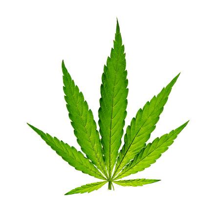 hoja marihuana: Hoja del cáñamo, planta de marihuana, primer plano