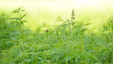 Young cannabis plants, marijuana, close-up  Stock Photo