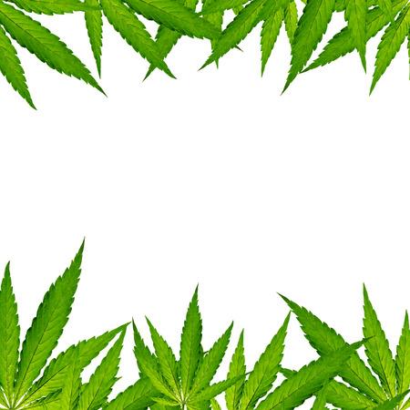Cannabis leaf, marijuana, close-up