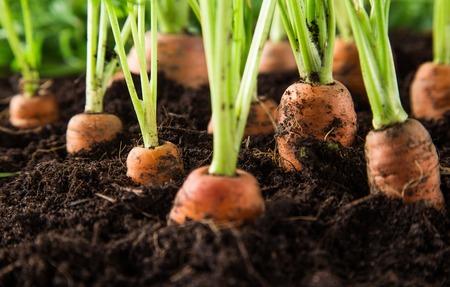 wortelen in de tuin, close-up. Stockfoto
