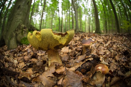 skewbald: Boletus mushroom in the forest, close-up. Stock Photo