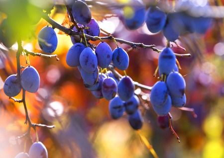 Fresh ripe blue plums on tree in autumn photo