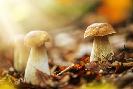 Boletus edulis in the forest during autumn day photo