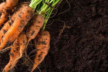 zanahorias: zanahorias en el jardín, primer plano. Foto de archivo