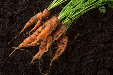 nutriment: carrots in the ground, close-up.
