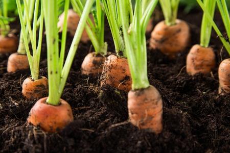 carrots in the garden, close-up. Standard-Bild