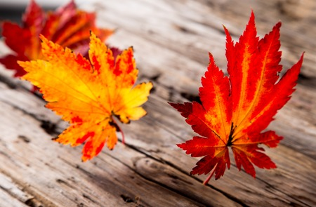 Abstract autumn background with maple leaves photo