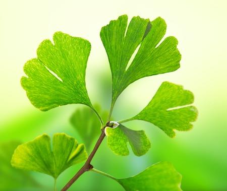 plantas medicinales: Ginko blob primer plano