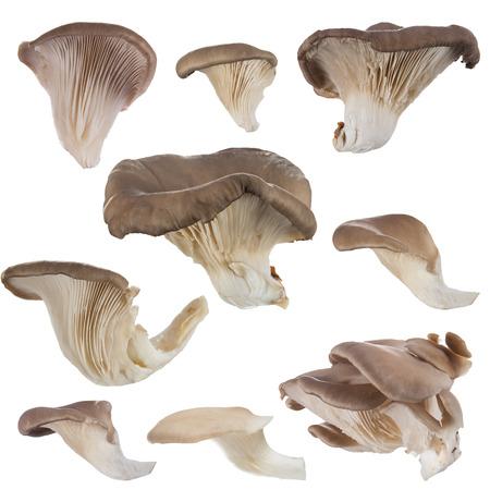 Oyster mushrooms on a white background. 版權商用圖片