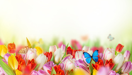 exotics: Beautiful bouquet of colorful tulips flowers with exotics butterfliers.