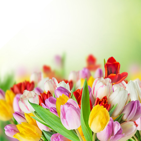 border flowers: Colored tulips