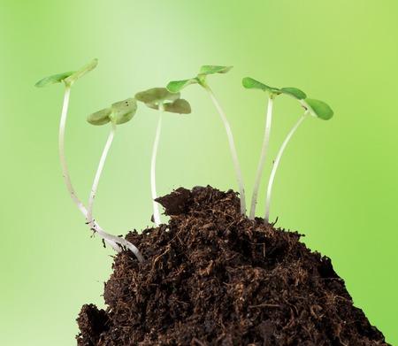 clod: Little plants on clod of soil, macro photo.