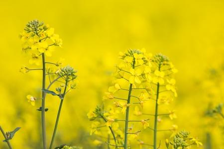 Flowering Barbarea vulgaris - Yellow Rocket plant (Cruciferae , Brassicaceae ).