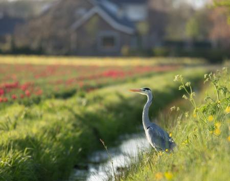 gray herons: Great Blue Heron during fish hunt, Netherlands.
