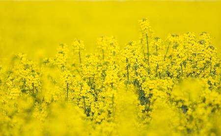 rapaseed: Flowering Barbarea vulgaris - Yellow Rocket plant (Cruciferae , Brassicaceae ).