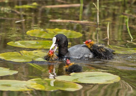 gruiformes: Common Coot (Fulica atra). Netherlands.