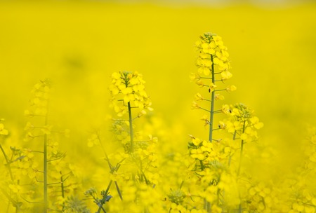 mustard field: Flowering Barbarea vulgaris - Yellow Rocket plant (Cruciferae , Brassicaceae ).