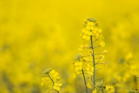 cruciferous: Flowering Barbarea vulgaris - Yellow Rocket plant (Cruciferae , Brassicaceae ).