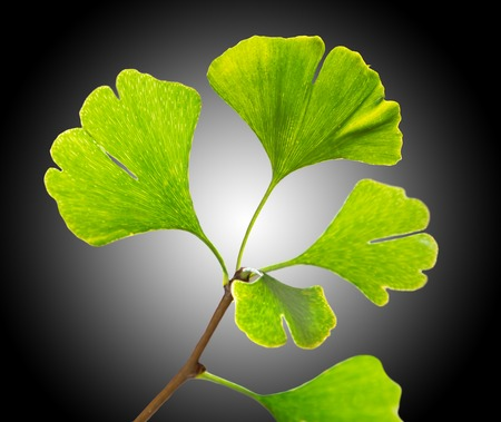 alternativ: Ginkgo biloba tree branch, close-up.