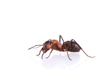 Ant isolated on white background macro photo.
