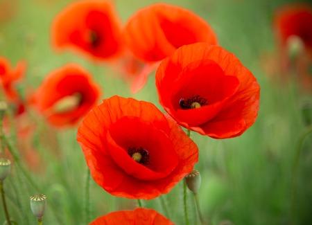 Poppy flowers field, close-up. 版權商用圖片 - 41945159