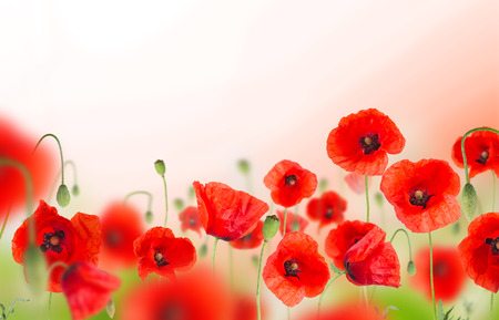 campo de flores: campo de flores de amapola en el fondo blanco, primer plano. Foto de archivo