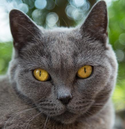 baby animal: Portrait of british blue cat. Close-up.