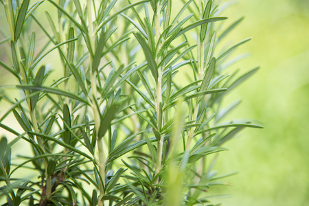 Romarin frais Herb, close-up. Banque d'images - 42942733