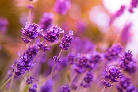 purple flower: Beautiful Lavender flowers background, close up.