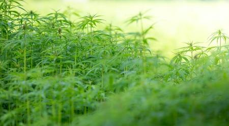 cannabis leaf: Young cannabis plants, marijuana, close-up.