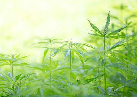 hemp: Junge Cannabispflanzen, Marihuana, close-up. Lizenzfreie Bilder