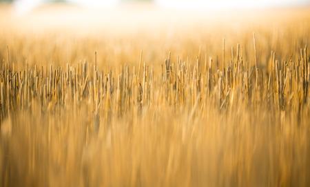 伝統: 黄色の粒は、フィールドで収穫されるクローズ アップ。