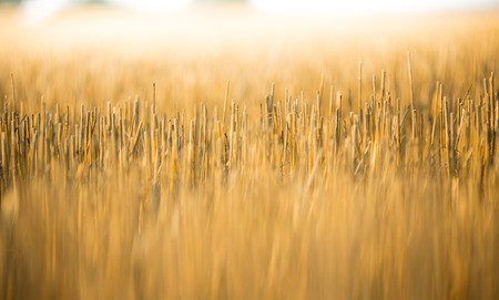 lays down: Yellow grain is harvested on field, close-up.