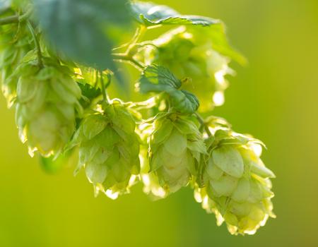 hop plant: Detail of fresh hops cones, close-up.