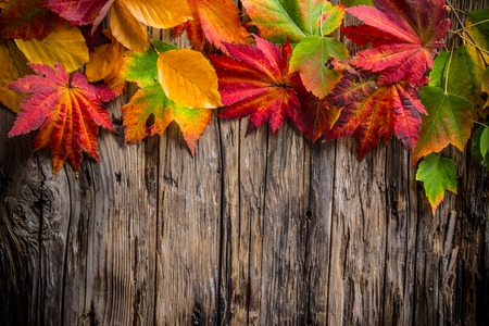 red maple leaf: Colorful autumnal background with leaves, close-up