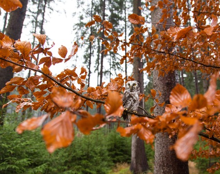 boreal: Boreal owl in the orange larch autumn tree, close-up. Stock Photo