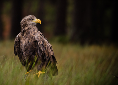 polen: White tailed eagle sitting on old branche. Stock Photo